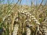 Punjab expecting record wheat production