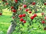 Indian government's PMDP scheme is helping progressive apple growers in J-K's Anantnag