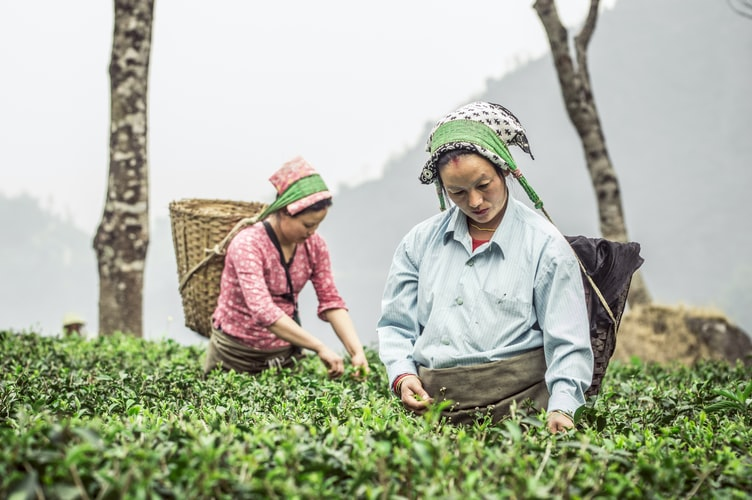 Ambuja Cement Foundation and Trustea join hands to boost sustainable tea production