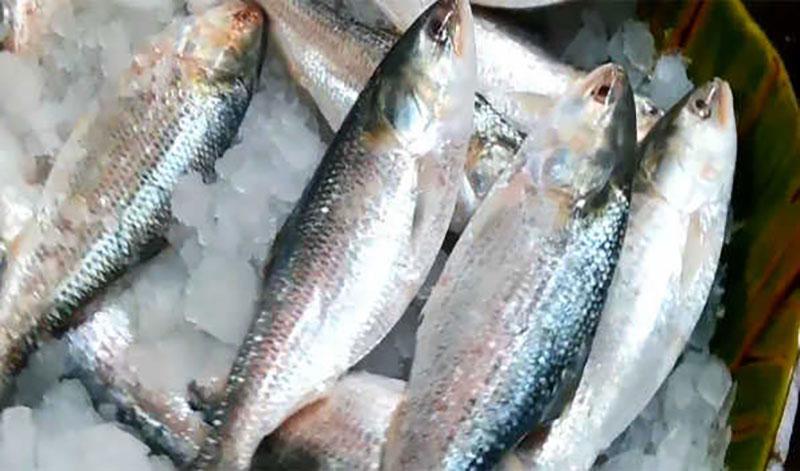 Bangladesh to export 2080 MT Hilsa fish to India during Durga Puja