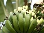 UN urges action against banana disease