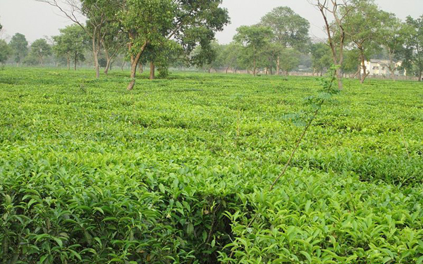 Non pesticide management is the future of tea cultivation: Greenpeace