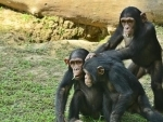 Alipore Zoo shifts trio-chimps to enclosure