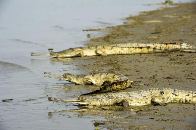 UP: 65 captive reared Gharials released into Ganges