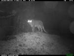 Presence of the elusive snow leopard in Sikkim now confirmed through photographic evidence