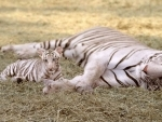 Global wild Tiger population increases: WWF