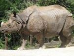 One-horned rhino poached in Kaziranga National Park