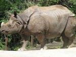 Assam: Poachers kill another rhino in Kaziranga and remove horn