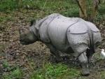 Assam: Another rhino poached in Kaziranga