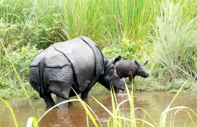 Rehabilitated rhino gives birth to her second calf in Manas national park