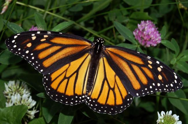 Toronto: Researchers identify birthplaces of monarch butterfly to help conserve species