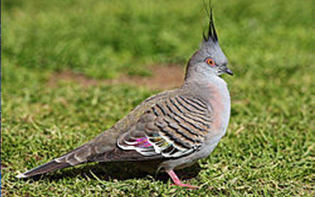 Crested pigeons use mystery feather to signal danger, says study