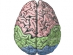 Bigger brains are smarter, but not by much: Study