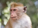 Pregnancy loss occurs in 26 percent of Zika-infected monkeys