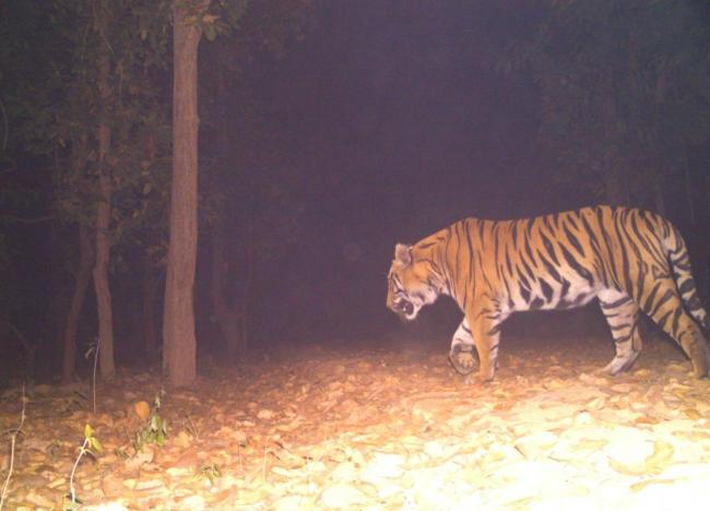 West Bengal: Tiger footage captured by camera-trap in West Medinipur's Lalgarh forest
