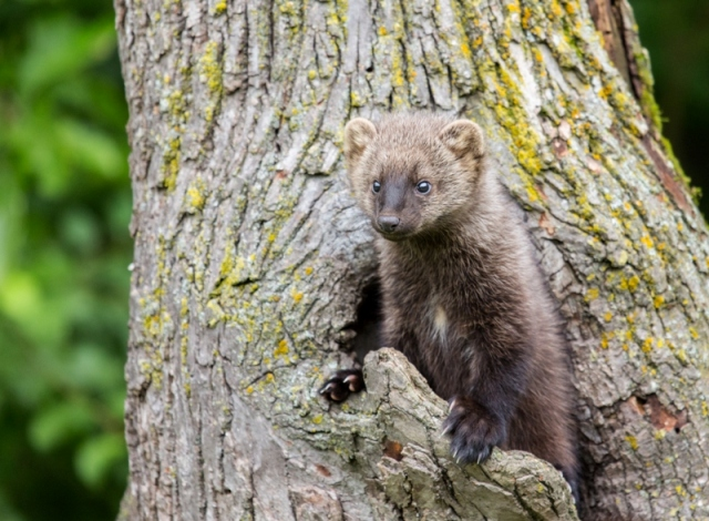 Elusive carnivores fishers from weasel family released in North Cascades National Park of USA's Washington State