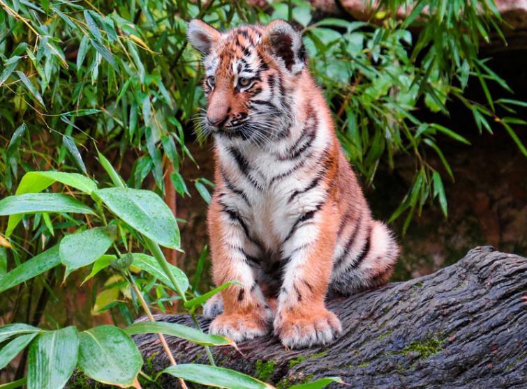 Ponnampet: Tiger cub strangulated to death