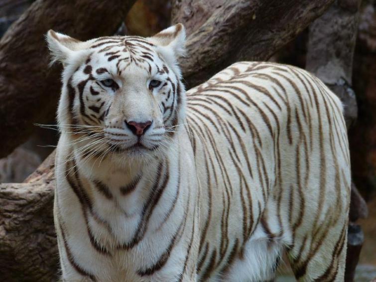 White tiger Subhranshu dies in Nandankanan Zoo