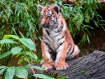 Ponnampet: Tiger cub strangulated to death