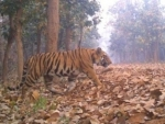 Royal Bengal Tiger strayed out of Orang creates panic in village area