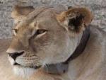 Gujarat: Lioness dies in Jamvala rescue center