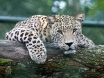 Villagers killed a leopard and chopped off its tail and legs