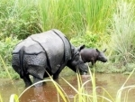 Strayed rhino calf due to flood rescued and released in Kaziranga