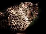 Gujarat: One more leopard caught from area close to Gir forests