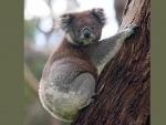 Over 2,000 koalas feared dead in bushfire crisis in Australia's east: reports