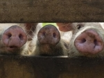 Disease slashing global meat output, cereals boom, bananas under watch: FAO