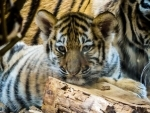 Maharashtra: Tiger cub to be discharged from hospital in Thane