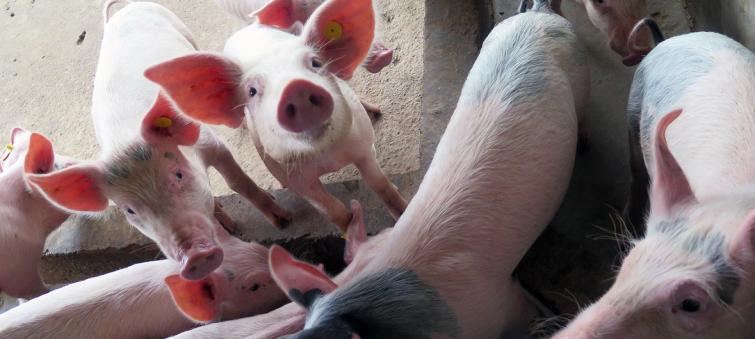 Livelihoods of millions in East and Southeast Asia at risk from Swine Fever epidemic