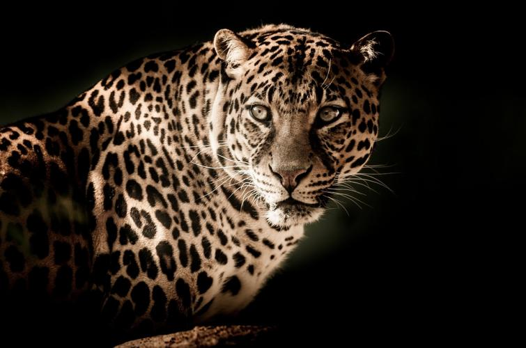 Maharashtra: Male leopard found dead in Nashik