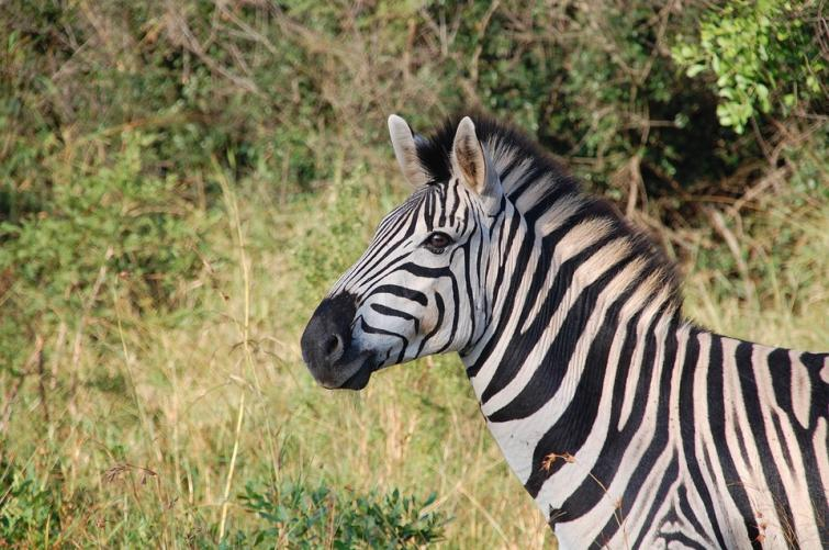 Scientists find zebra odour useful in fight against trypanosomosis disease