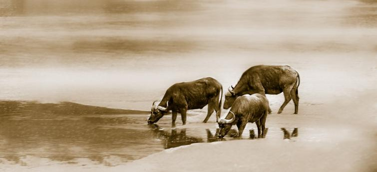 Buffalo dies due to Anthrax in at Pobitora Wildlife Sanctuary in Assam