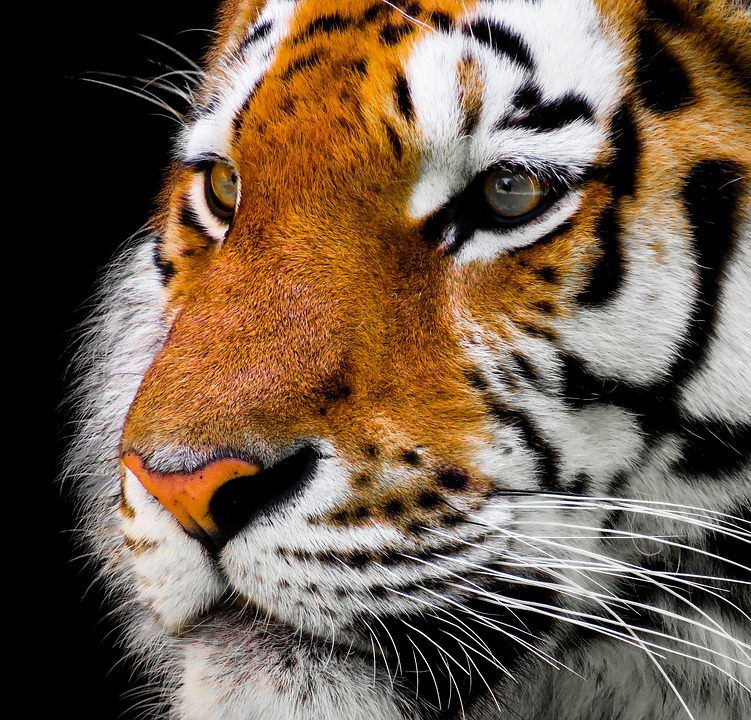 Authorities order capture or shoot-at-sight the tiger that killed 2 people in Bandipur