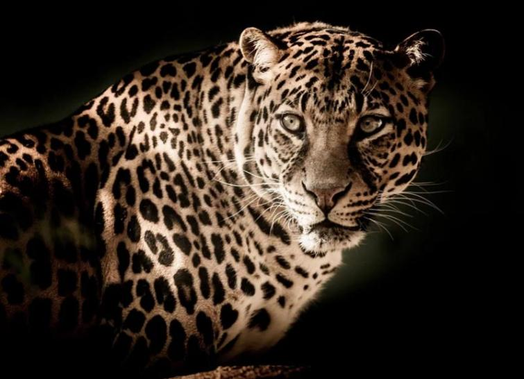 Leopard spotted on outskirts of Hyderabad two days ago remains untraced