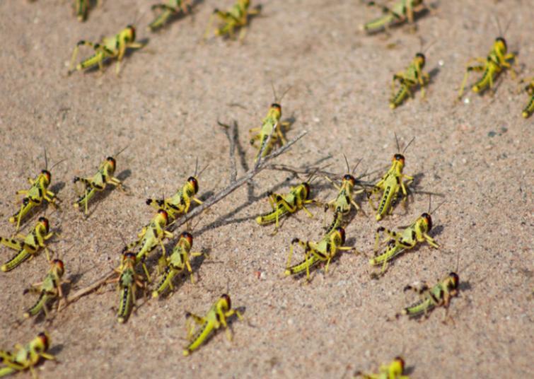Rajasthan; Locust attack in Alwar