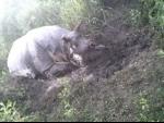 Assam: Poachers kill one-horned rhino in Kaziranga amid Covid-19 lockdown