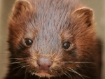 COVID-19 detected in mink at 4 more fur farms in Netherlands - Reports