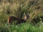 Hog deer fleeing from Kaziranga due to flood killed by hunters, two arrested