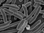 Predatory bacteria escape unharmed from prey cell using unique tool: Study