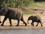 Assam: Forest officials rescue injured elephant calf