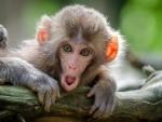 Vietnam tests COVID-19 vaccine on monkeys