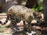 Nashik woman hurt in leopard attack