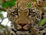Maharashtra: Leopard caught in Nashik