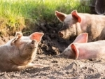 Amid COVID-19 outbreak, new swine flu with 'pandemic potential' found in China