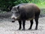 Odisha: Six injured in wild boar attack in Puri