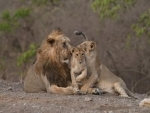 Population of Asiatic lions in Gujarat's Gir forest registers highest increase; PM Modi shares the good news on social media