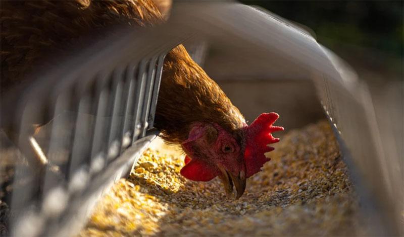 Bird Flu outbreak detected in western Belgium